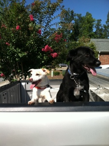 They love riding in the back of the truck!
