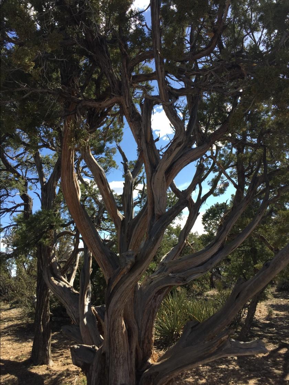 1200 YO Tree